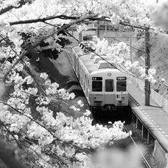 【y04593】さんのInstagramをピンしています。 《SAKURA #ことでん #電車 #桜 #春 #白黒 #モノクロ #モノクローム #kotoden #railroad #railway #sakura #flower #flowers #spring #blackandwhite #bnw #monochrome #日本 #japan》