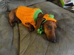 punkin'... That is such a cute and sweet DACHSHUND AWWWWWWWWWWWWWWWWWWWWWWWWWWWWWWWWWWWW.