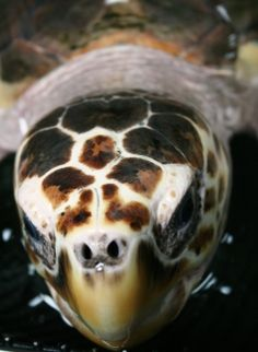 Want to know how to identify sea turtles?  Check out  identification of the 7 species using different characteristics like number of scutes (scales) and more.  http://www.seeturtles.org/1893/sea-turtle-identification.html