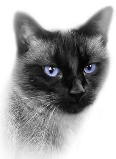 The unbelievable beauty of a Siamese cat is true, verifiable proof that a wonderful Creator made these delightful beings.