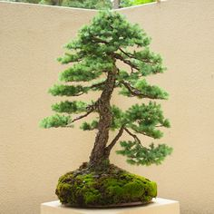 bonsai - Google Search