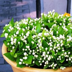200 seeds/bag Jasmine flower seeds potted balcony easy to plant seeds of 4 seasons sowing flowers