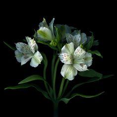 Alstromeria or Peruvian Lilies. Cut Flowers, Flower Petals, My Flower, Flower Power, Beautiful Flowers, Peruvian Lilies, Black And White Flowers, White Roses, Black White