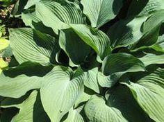 Hosta 'Blue Angel' - Plant Finder