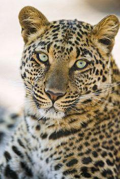 gorgeous leopardess