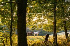 Pferde im Sommer auf der abendlichen Koppel - auf http://ronni-shop.fineartprint.de