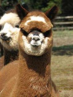 alpaca for sale Cute Funny Animals, Cute Cats, Farm Animals, Animals And Pets, Alpacas For Sale, Llama Llama, Cute Pajamas, Giraffes, Cows
