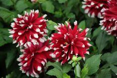 Twenty Evergreen Shrubs For Non-Stop Color | HGTV Growing Flowers, Planting Flowers, Evergreen Flowering Shrubs, Shrubs For Landscaping, Mailbox Garden, Plants That Attract Butterflies, Shade Shrubs, Most Popular Flowers, Lily Bulbs
