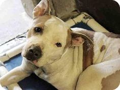 American Pit Bull Terrier Mix Dog for adoption in Mesa, Arizona - A3546567 Maricopa County Animal Care & Control East Valley,Mesa AZ
