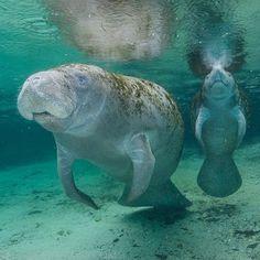 #WildlifeWednesday featuring Conservation Photographer @carltonward・・・ Manatee…