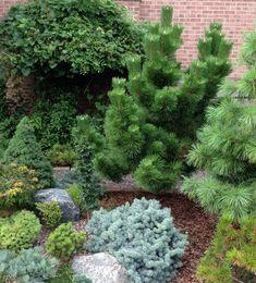 Pinus thunbergii 'Thunderhead' - Conifers Forum - GardenWeb