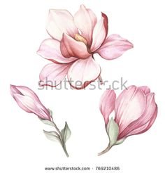 Royalty-Free Images Photos Picture Illustration Vectors Music - Set of blooming magnolia. Art Floral, Watercolor Flowers, Watercolor Paintings, Flor Magnolia, Magnolia Flower, Botanical Drawings, Botanical Art, Illustration Botanique, Plant Drawing