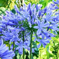 Agapanthus | Lily of the Nile Agapanthus are perfect for a Mediterranean climate. Happy in the ground or in containers, with blooms forming whimsical globes in the garden. Butterflies and hummingbirds love agapanthus blooms.