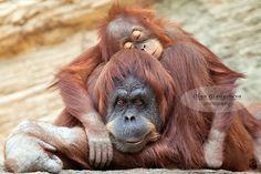 Sweet dreams by Olga Gladysheva on 500px Animals Beautiful, Cute Animals, Wild Animals, Funny Animals, Mother And Baby Animals, Orange Monkey, Animal Print Shop, Ape Monkey, Animals Of The World