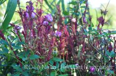 Rose Rosette disease.  Horrible to see this happen to such beautiful plants.