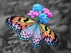 this should be named a Princess butterfly
