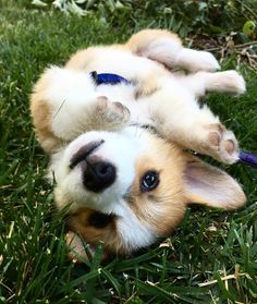 Turn that frown upside down . Cute Corgi Puppy, Corgi Dog, Really Cute Dogs, I Love Dogs, Small Puppies, Cute Dogs And Puppies, Dog Quotes Love, Fluffy Dogs, Pet Id