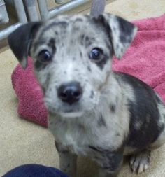 NO LONGER LISTED - #UTAH #U ~ ID 11285 is a Catahoula #puppy dog in need of a loving #adopter / #rescue at  Sevier County Animal Shelter  2555 N  Interchange Rd  #Sigurd UT 84657 seviercountypetadoptions@yahoo.com Ph 435-896-5370