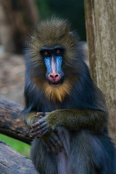 Mandrill (by Hermen van Laar) by carter flynn