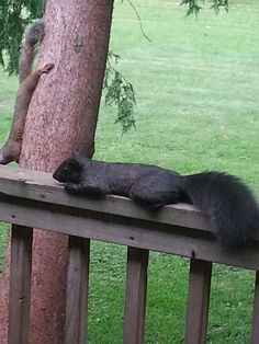 This is a melanistic subgroup of the Eastern gray squirrel, found more in eastern Canada, the NE corner of the US and in the Midwest of the US.
