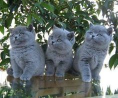 Adorable British Shorthair Kitties