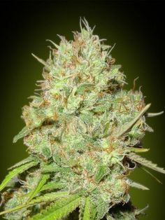 Discover Feminised Advanced Seeds Cannabis Seeds at GYO Seedbank. Feminised Shark Widow Weed Seeds from Advanced Seeds at great prices! Cannabis Seeds For Sale, Cannabis Oil, Cbd Oil For Sale, Weed Seeds, Buy Weed Online, Ganja, Hemp Oil, Medical Marijuana, Shopping