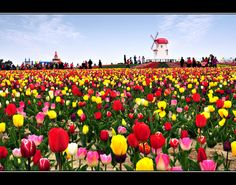 Shinan Tulip Festival in South Korea.