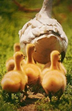 Ducklings follow their mother's guidance, wherever she goes. They never seem to question her steps, and rarely turn away from her instruction... It's amazing how much wisdom on family you can gain just by observing God's creation in motion