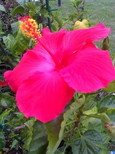 A beautiful hibiscus planted in loving memory of Kristy.