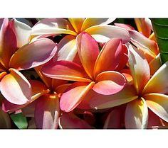 Roberta's 3-piece Lani's Beauty Rainbow        Plumeria