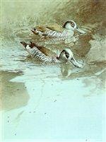 Australian pink eared ducks by Raymond Harris Ching