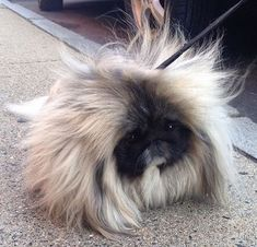 Wonton Soup the Pekingese dog is taking the Internet by storm for his furry coat Yorkies, Pekingese Puppies, Cute Funny Animals, Cute Baby Animals, Animals And Pets, Fu Dog, Lion Dog, Fluffy Dogs, Cute Dogs And Puppies