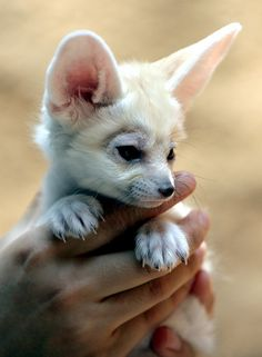 Fennec fox by floridapfe on Flickr. :)