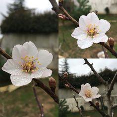 badem ağacı..baharın ilk çicekleri