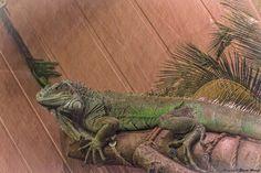 Gabriele Manholds Blog: Der grüne Leguan #Tierfotografie
