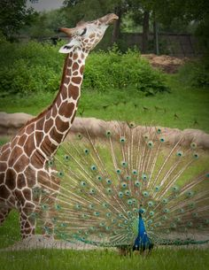 A reticulated giraffe and peacock at the Detroit Zoo seem to be having a preening contest. (Photo by Mark M. Gaskill)