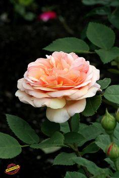 'Crown Princess Margareta'    Shrub.  English Rose Collection.  Bred by David C. H. Austin (United Kingdom, 1990).   Flickr - © fotoproze