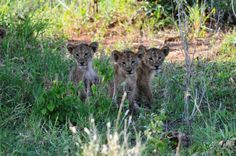 Three Lion Cubs Staying Put in a Spot Where Their Placed Them; Tarangire National Park, Tanzania.