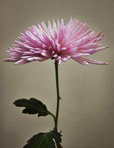 Crisantemo = pretty flower.
