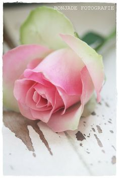 It just doesn't get any better than pink roses!
