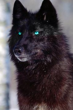 Loup Noir aux yeux bleus_Black Wolf with blue eyes Wolf Photos, Wolf Pictures, Animal Pictures, Wolf Images, Wolf Spirit, My Spirit Animal, Beautiful Creatures, Animals Beautiful, Wolf With Blue Eyes
