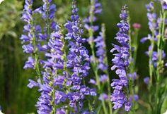Penstemon Strictus-Rocky Mountain beardtongue 250 Fresh seeds