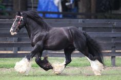 http://www.gypsygold.com/BB_King_colt-_Grand_Vanner_filly-Caymus_Crown_Darby_Filly-_Hagen_058.jpg