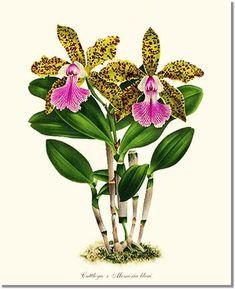 'Cattleya x Memoria bleui' giclee print via Charting Nature… Vintage Illustration Art, Vintage Art Prints, Botanical Illustration, Girl Illustrations, Orchid Drawing, Plant Drawing, Drawing Art, Botanical Flowers, Botanical Prints