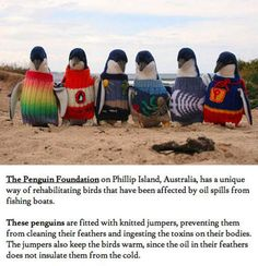 It's not cute enough that it's penguins wearing sweaters, but the sweaters are literally saving their lives?? I'm dying of cute!