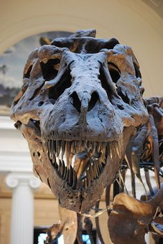 """Close up of """"Sue"""" T-Rex replica skull at the Field Museum of Natural History in Chicago, IL. Dinosaur Bones, Dinosaur Fossils, Giant Dinosaur, Dinosaur Eggs, T Rex Jurassic Park, Field Museum, In Natura, Extinct Animals, Prehistoric Creatures"""