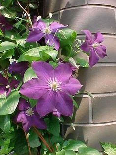 Low-maintenance Perennials (MO) –       Clematis 'Jackmanii'  clematis  Vine    The no-brainer clematis. It can bloom on new wood so it can be cut back each year. Perfect for light posts.