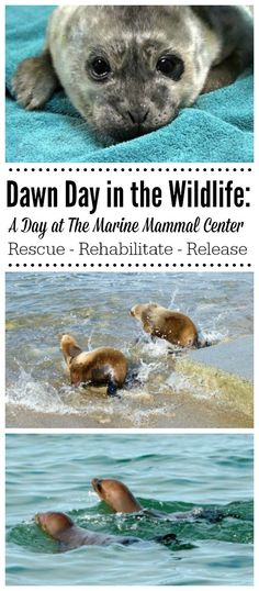 Love this story of these rehabilitated sea lions returning to the wild.