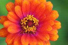 orange zinnia with purple center photo - jypsee photos at pbase.com