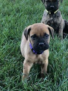 Bullmastiff Puppies for Sale | Lancaster Puppies Bullmastiff Puppies For Sale, Labrador Puppies For Sale, Lancaster Puppies, Bear, Dogs, Animals, Animales, Animaux, Doggies